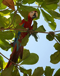 Scarlet Macaw, photo by Amy Leist